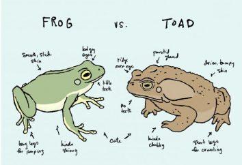 Ce qui distingue le crapaud d'une grenouille? La similitude des grenouilles et des crapauds
