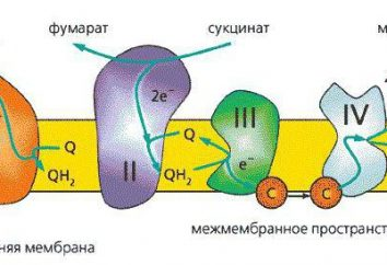 łańcucha oddechowego: enzymy funkcyjne