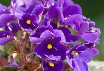 Come prendersi cura di violette a casa? Diverse raccomandazioni fiorista