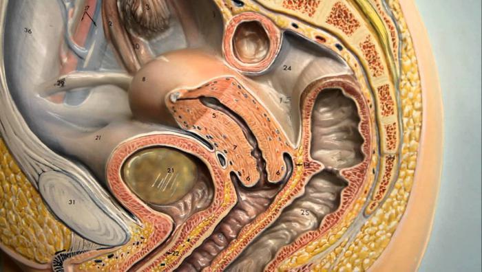Anatomie einer Frau. Human Anatomy (Biologie, Grade 8)