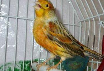 entretien des Canaries et de soins. Le contenu de la maison canaries