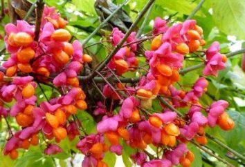 Jaki jest euonymus? Sadzenie i pielęgnacja