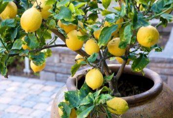 albero di limone che cresce in casa