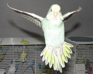 L'amicizia con piume. Come domare pappagallo ondulato in mano
