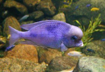 Peces de acuario delfines azules: que se llevan y cómo cuidar