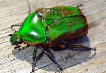 beetle czerwca – szkodnik, który rozpoczyna swoją pracę, podczas gdy jeszcze larwy
