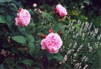 le rose in miniatura – decorazione di qualsiasi giardino