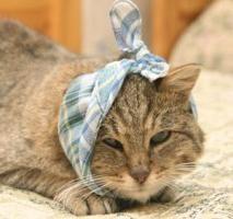 Comment et quand le médicament « Anandina » est attribué au chat?