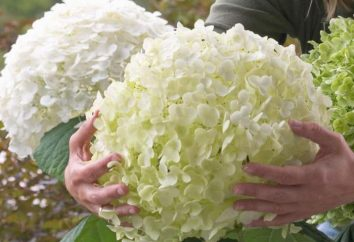 Wenn Umpflanzen Hortensien: der Herbst oder Frühling?