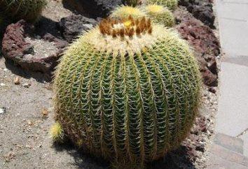 Echinocactus grusonii czerwony: opieki w domu