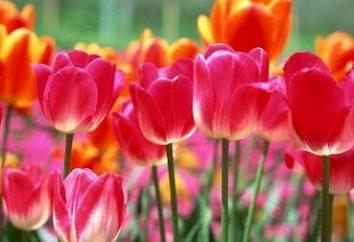 Quand ils plantent des tulipes à l'automne?