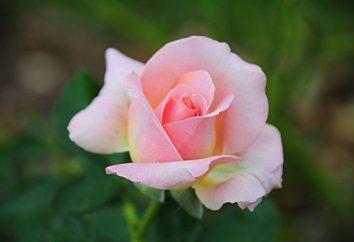 thé fleurs rose – comment choisir