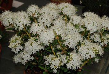 floración ledum cuando? Ledum: Propiedades y aplicaciones