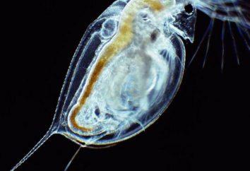 pulga de agua: la descripción de la especie, hábitat, hábitos de alimentación y datos interesantes