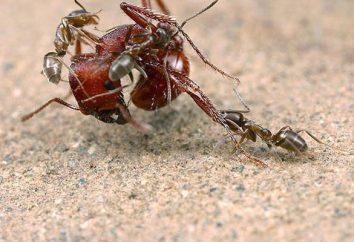 Mrówki odżywiają się w naturze?