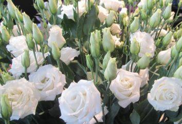 O que é uma flor como uma rosa?