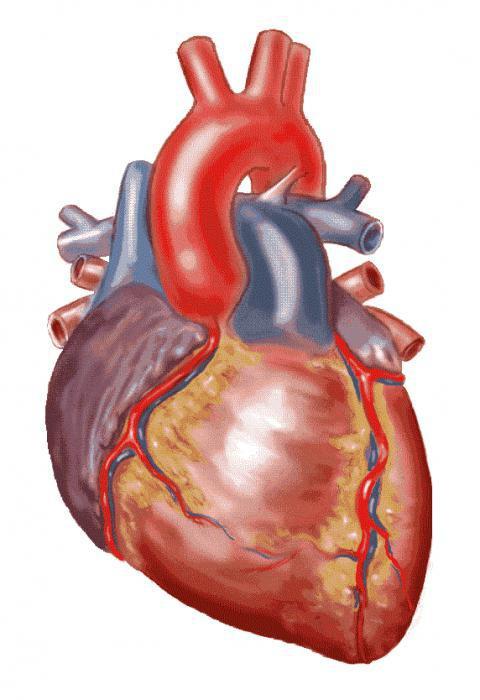 Kreislauf- und Atmungssystem bei Säugetieren. Der Körper das ...