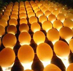 Jajka kurczaka Ovoskopirovanie. Owoskopia jaj kurzych na kilka dni
