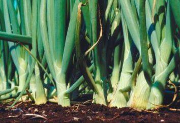 Stopniowe podawanie cebuli