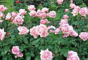 Cómo cultivar rosas en una papa? Rose métodos de reproducción. Rose en la patata en casa