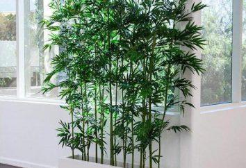 il tasso di crescita di bambù, le regole di impianto e le caratteristiche per la cura di coltivazione