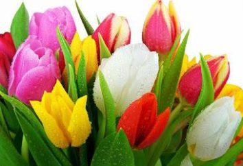 Tulipan: uprawa i utrzymanie w działce