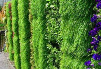 Hedges: types, appareil, plante, culture, photo