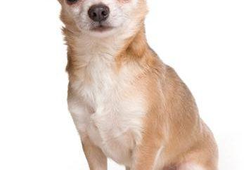 Chihuahua rasa: pielęgnacja i konserwacja