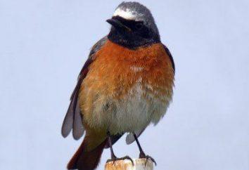 Redstart comum – pássaro bonito e útil