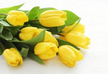 Wartość żółtych tulipanów i komu dają