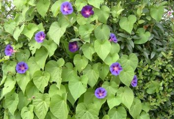 Morning Glory – liana perene Tropical
