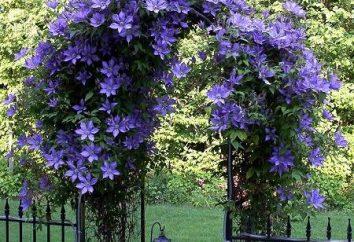 Ogrodnictwo wsparcie dla powojników: ozdobić witrynę własnymi rękami