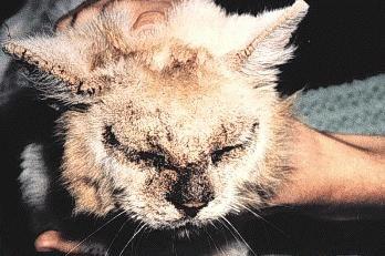Jak leczyć strup u kotów. Objawy, diagnostyka, metody leczenia
