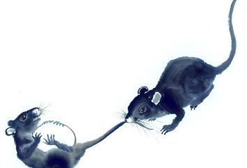 Szczury samce i samice szczurów kompatybilności. perspektywy Union