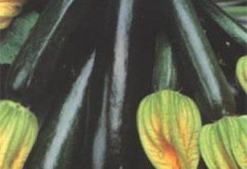 """Zucchini """"bel nero"""": caratteristiche di varietà e le regole di coltivazione"""