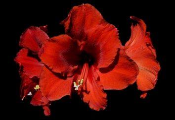 Che tipo di fiori non dovrebbero essere tenuti a casa, o salvare la salute e la vita della famiglia