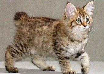Hodować koty bez ogona: imię i nazwisko, zdjęcie, opinie