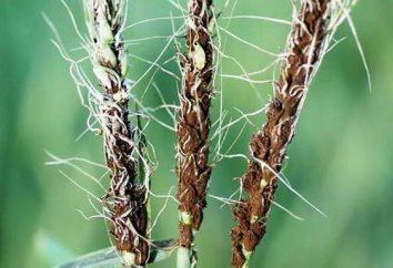Bunt – choroba grzybowa zbóż. Jak masz Rośliny zainfekowane ustilaginales