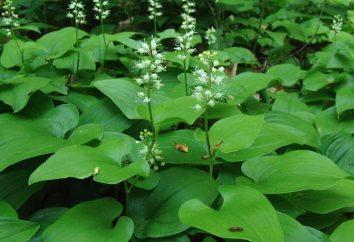 Konwalijka bifolium – dekoracja las