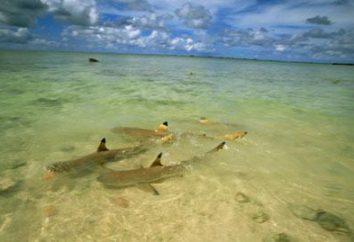 Shark en Egypte a été attaqué par un homme? Des cas d'attaques de requin en Egypte