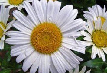 Pyrethrum z nasion: do uprawy i pielęgnacji