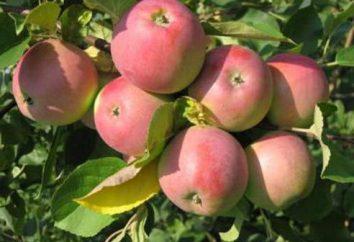 synaptyczne Północna (jabłko) opis odmiany, zwłaszcza uprawa i opinie