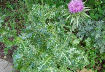 Co dostaje zwrotnego oset jako roślina lecznicza?