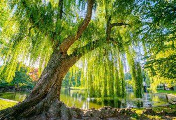 Rakita – to drzewo? Jaki jest wierzba?