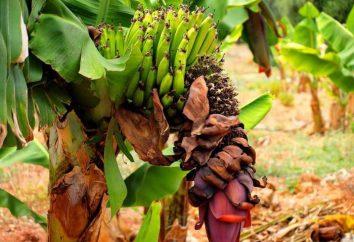 Stern banana. Odmiany, jak odróżnić i właściwie przygotowane