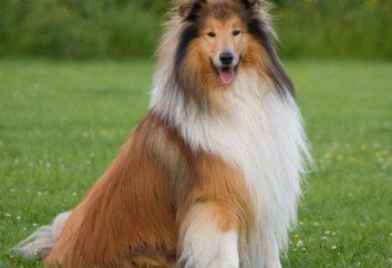 Długowłosy collie: opis rasy, zdjęcia pies przyroda