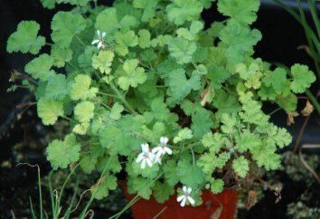 Geranium à la maison: propriétés médicinales