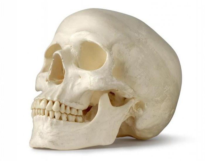 Gesichtsknochen: die Anatomie. Gesichtsknochen des Schädels