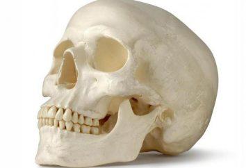 ossa facciali: l'anatomia. ossa facciali del cranio