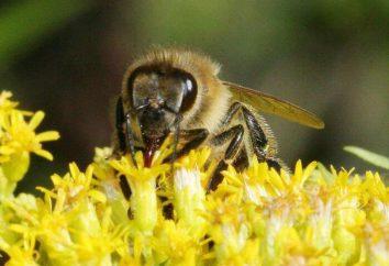 Y at-il du sucre dans le miel: propriétés utiles, types et caractéristiques d'utilisation
